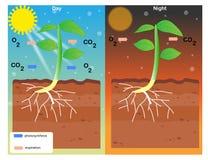 Photosynthèse et respiration Photographie stock libre de droits