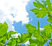 Photosynthesis. Of leaves and sky background Royalty Free Stock Photo