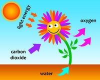 Photosynthesis Stock Photography