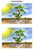 Photosynthesis. Showing the process of photosynthesis by nettle Stock Photo