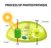 photosynthesis vektor illustrationer