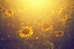 Photosynthesis. Backlighting Sunflower Detail Vintage, Macro shot. Cross Color Effect royalty free stock photos