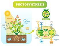 Free Photosynthesis Biological Vector Illustration Diagram With Plan Cell Scheme. Stock Image - 114049641