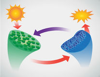 Photosynthesis. Cartoon vector illustration of photosynthesis Royalty Free Stock Photography