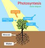 Photosynthesis diagram. Schematic vector illustration of the photosynthetic process. Royalty Free Stock Images