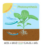 Photosynthesis diagram. Schematic vector illustration. Royalty Free Stock Image