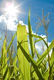 Photosynthesis and Growth. The sun shines brightly on green cornstalks, causing flare and allowing photosynthesis and growth Royalty Free Stock Image