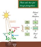 Photosynthesis Illustration. Illustration of photosynthesis process Stock Image