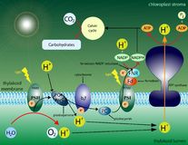 Photosynthesis. Illustration of the basic molecular steps of photosynthesis Stock Images