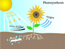 The photosynthesis. Of plant   design Stock Photos