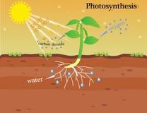 The photosynthesis Stock Photo