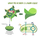Photosynthesis process diagram. Photosynthesis plant cell diagram illustration vector design Stock Photos