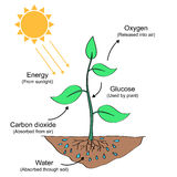 Photosynthesis process illustration. Photosynthesis process labelled illustration design Stock Image