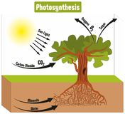 Photosynthesis Process in Plant Diagram. With all factors and outputs including sun light carbon dioxide minerals water oxygen sugar for biology science Stock Photography