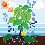 Photosynthesis. Is a process used by plants and other organisms Royalty Free Stock Image