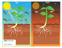 Photosynthesis and respiration. Vector design Royalty Free Stock Photography