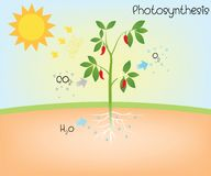 Photosynthesis vector diagram royalty free illustration