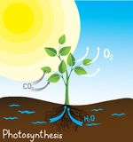 Photosynthesis vector image. Simple scheme for students Royalty Free Stock Photos