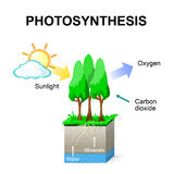 Photosynthesis. Vector. Schematic of  in plants Stock Images
