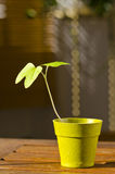 Phototropism. Plant growing towards sunlight. Stock Photo