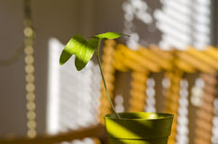 Phototropism. Plant growing towards sunlight. Royalty Free Stock Image