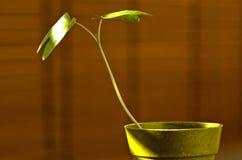 Phototropism Växt som växer in mot solljus Arkivbilder