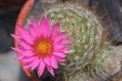 phpto фокуса цветка кактуса близкое выбранное вверх Стоковое фото RF