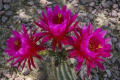 phpto фокуса цветка кактуса близкое выбранное вверх Стоковые Фотографии RF