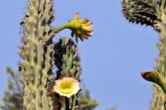 phpto фокуса цветка кактуса близкое выбранное вверх Стоковое Фото