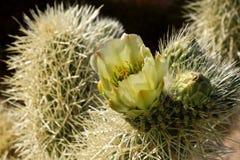 phpto för fokus för kaktuscloseblomma som väljs upp Arkivfoton