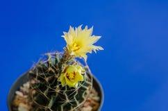 phpto för fokus för kaktuscloseblomma som väljs upp Fotografering för Bildbyråer