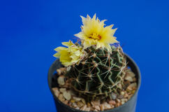 phpto för fokus för kaktuscloseblomma som väljs upp Royaltyfria Foton