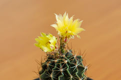 phpto för fokus för kaktuscloseblomma som väljs upp Royaltyfri Fotografi