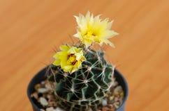 phpto för fokus för kaktuscloseblomma som väljs upp Arkivfoto