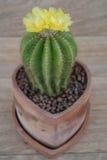 phpto för fokus för kaktuscloseblomma som väljs upp Royaltyfri Bild