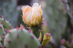 phpto för fokus för kaktuscloseblomma som väljs upp Arkivbild