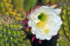 phpto för fokus för kaktuscloseblomma som väljs upp Royaltyfria Bilder