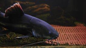 Phractocephalus Chemioliopterus, siluro exótico de los pescados nada en el acuario iluminado almacen de metraje de vídeo