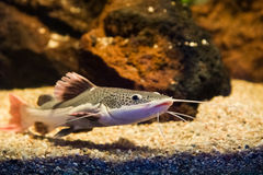 Phractocephalus hemioliopterus - redtail catfish Royalty Free Stock Photography