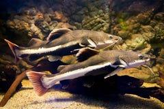Phractocephalus hemioliopterus - redtail catfish Royalty Free Stock Image