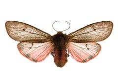 Phragmatobia fuliginosa Stock Photo