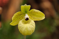 Phragmipedium malipoense Obrazy Royalty Free