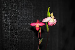 Phragmipedium Sherman's March Orchid Stock Photo