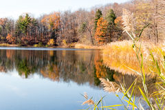 Phragmite reeds and reflections on pond and Fall color Stock Image