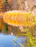 Phragmite reeds and reflections on pond and Fall color Royalty Free Stock Images