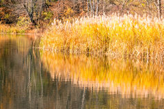 Phragmite reeds and reflections on pond and Fall color Stock Photo