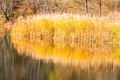 Phragmite reeds and reflections on pond and Fall color Royalty Free Stock Photography