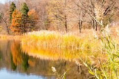 Phragmite reeds and reflections on pond and Fall color Royalty Free Stock Image