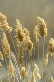 Phragmites Royalty Free Stock Photography