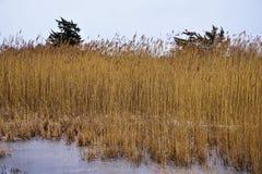 Phragmites australis in bevroren zout moeras stock afbeelding